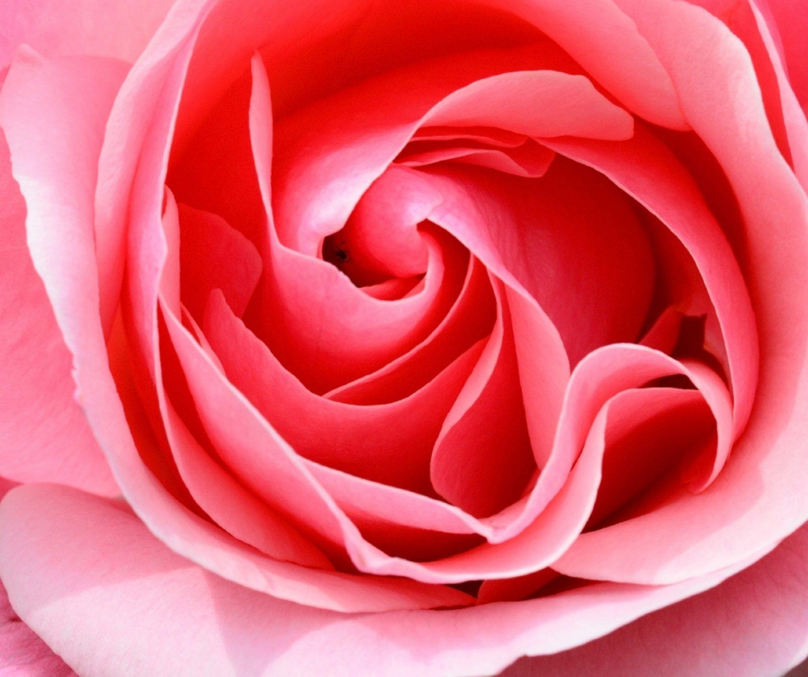 Mortlake Rose Show