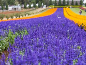 A field of Salvia contrasted by Marigolds at KaBloom festival of flowers