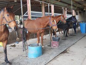 Horses in tie ups