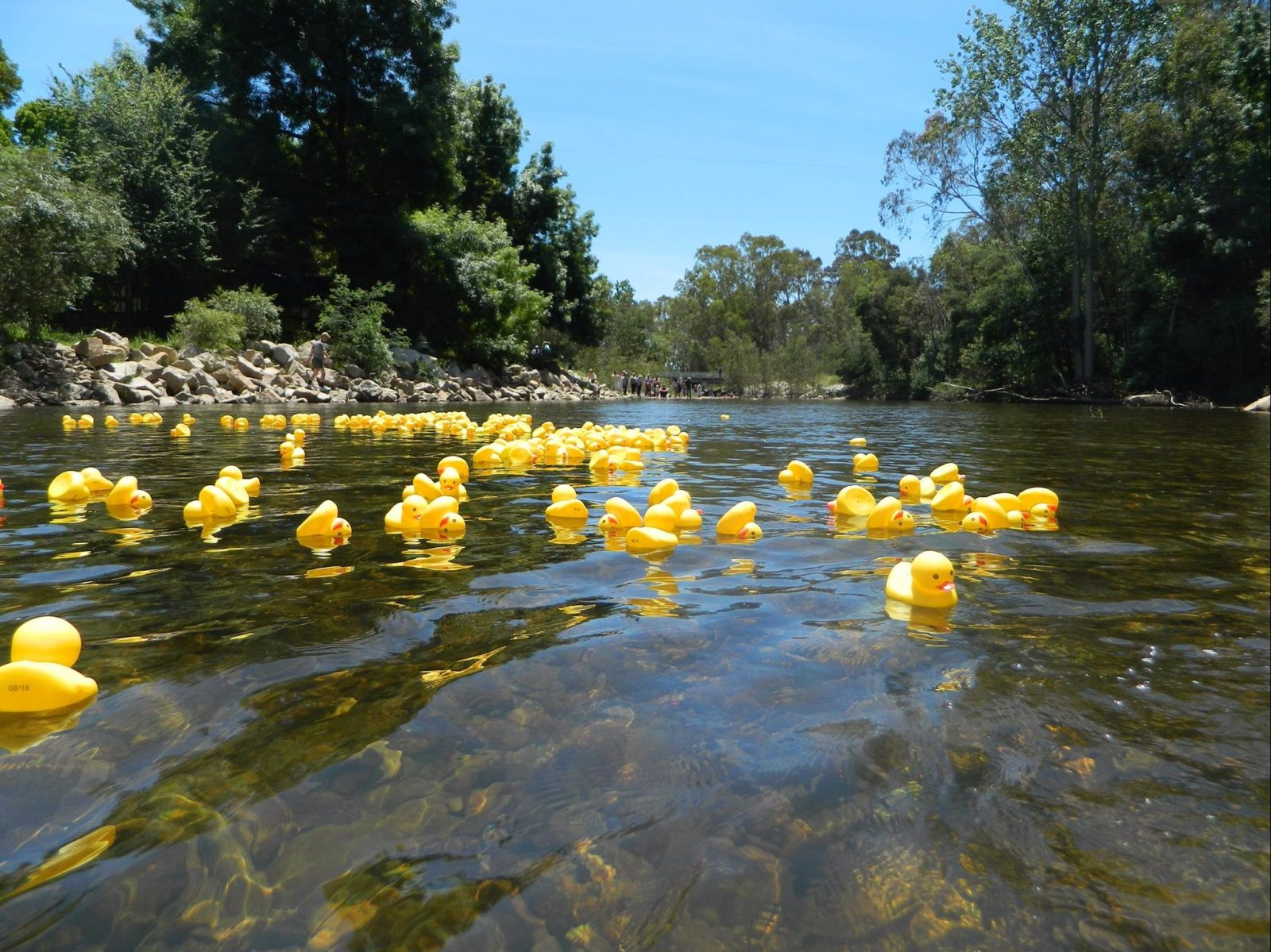 2016 Duck Regatta after ducks released on King River