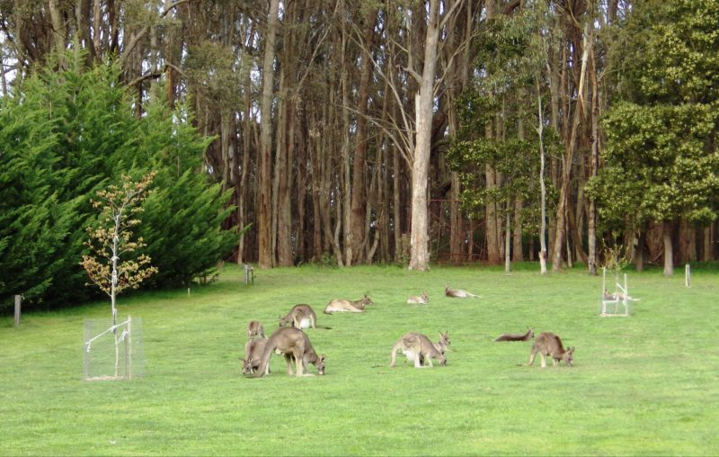 Kangaroos visit most mornings & evenings.
