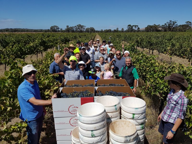 A group of Rent-A-Row winemakers picking their grapes during harvest.
