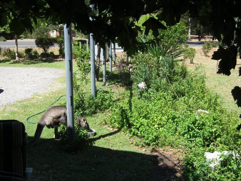 Kangaroos visit Tim's Place daily.