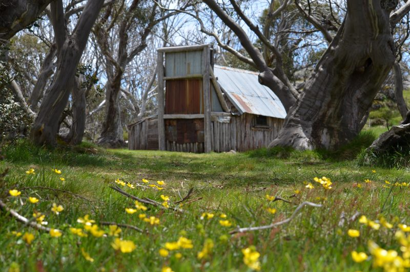 Historical Wallace's Hut set in amongst snowgums and native flowers