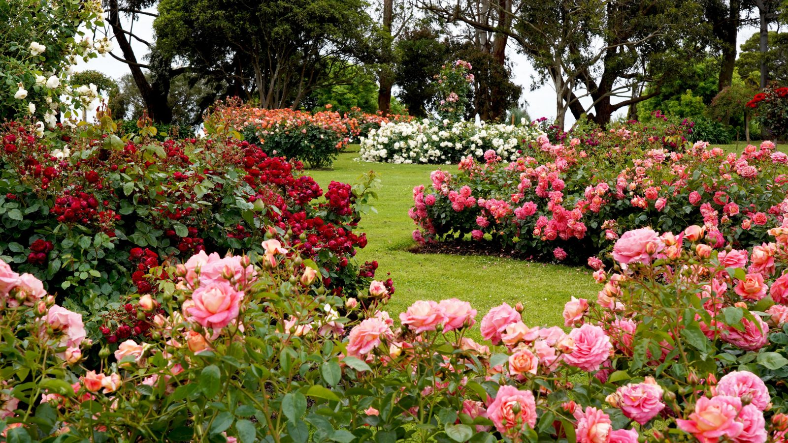 Winding garden beds of colourful roses