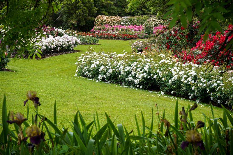Garden beds or roses in full bloom.