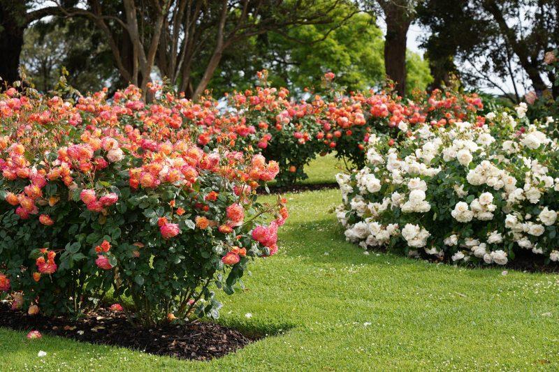 Treloar Roses Display Garden
