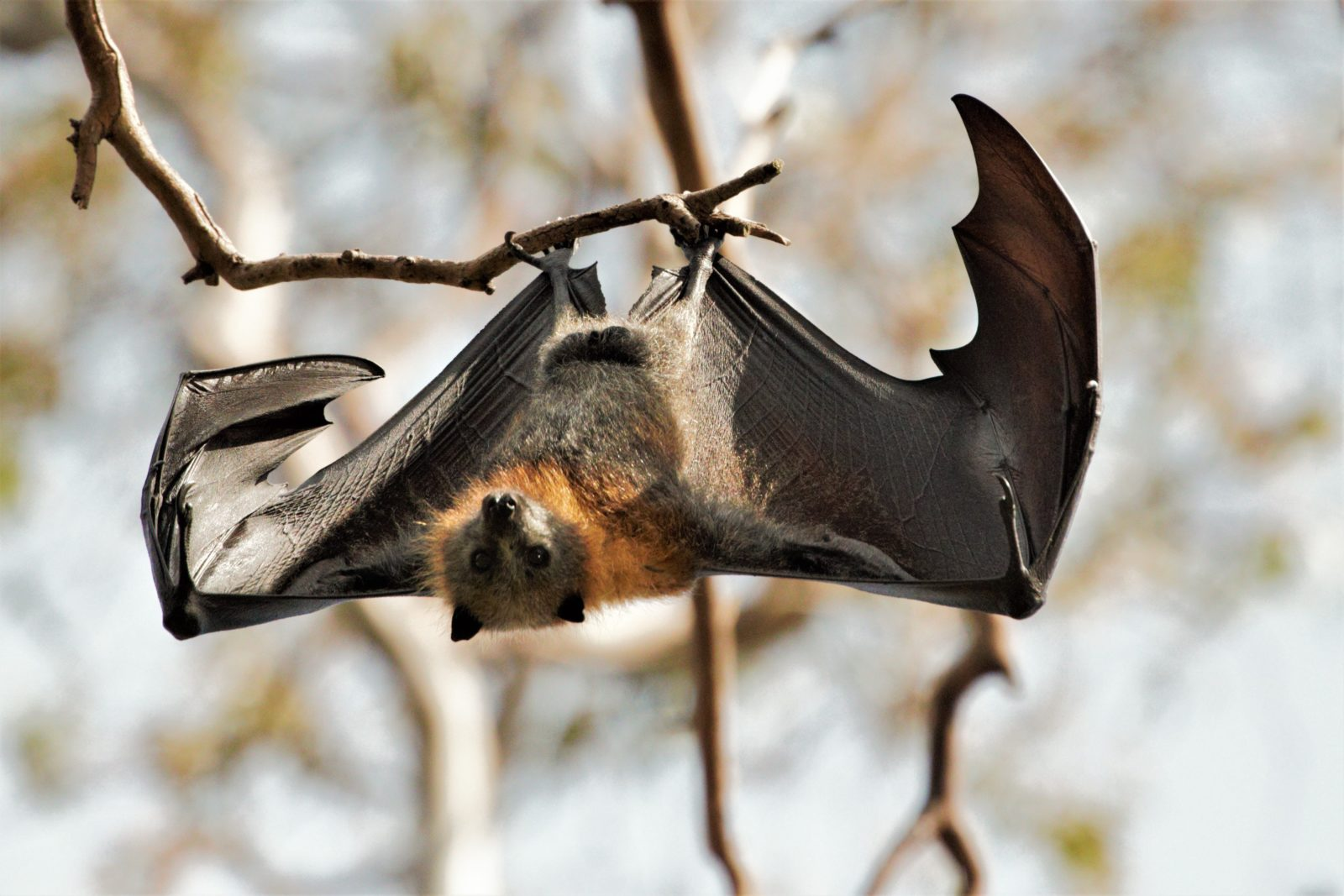 Urban Hiking - Flying Fox hanging upside down in a tree