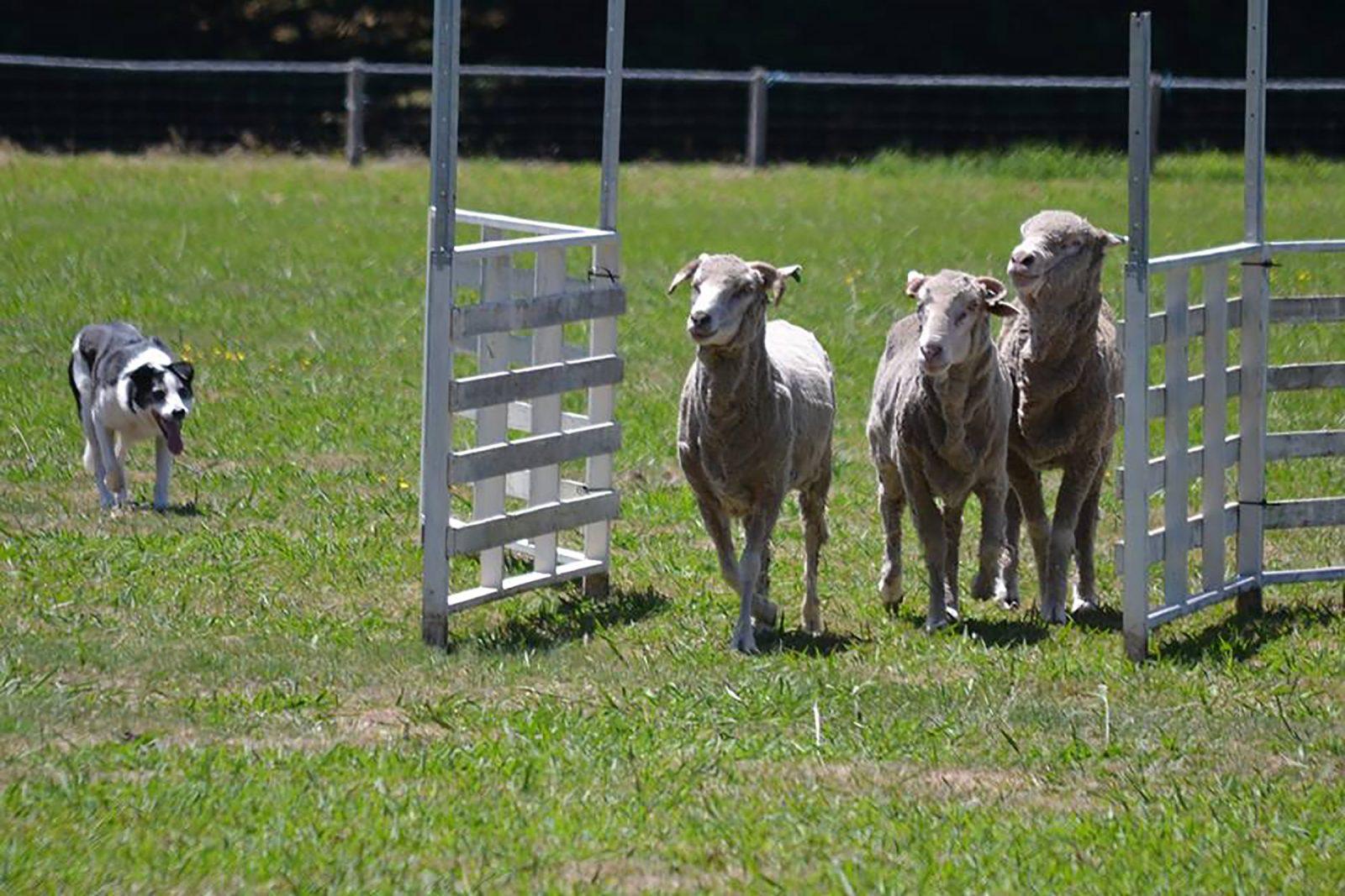 Wando Vale Sheep Dog Trials