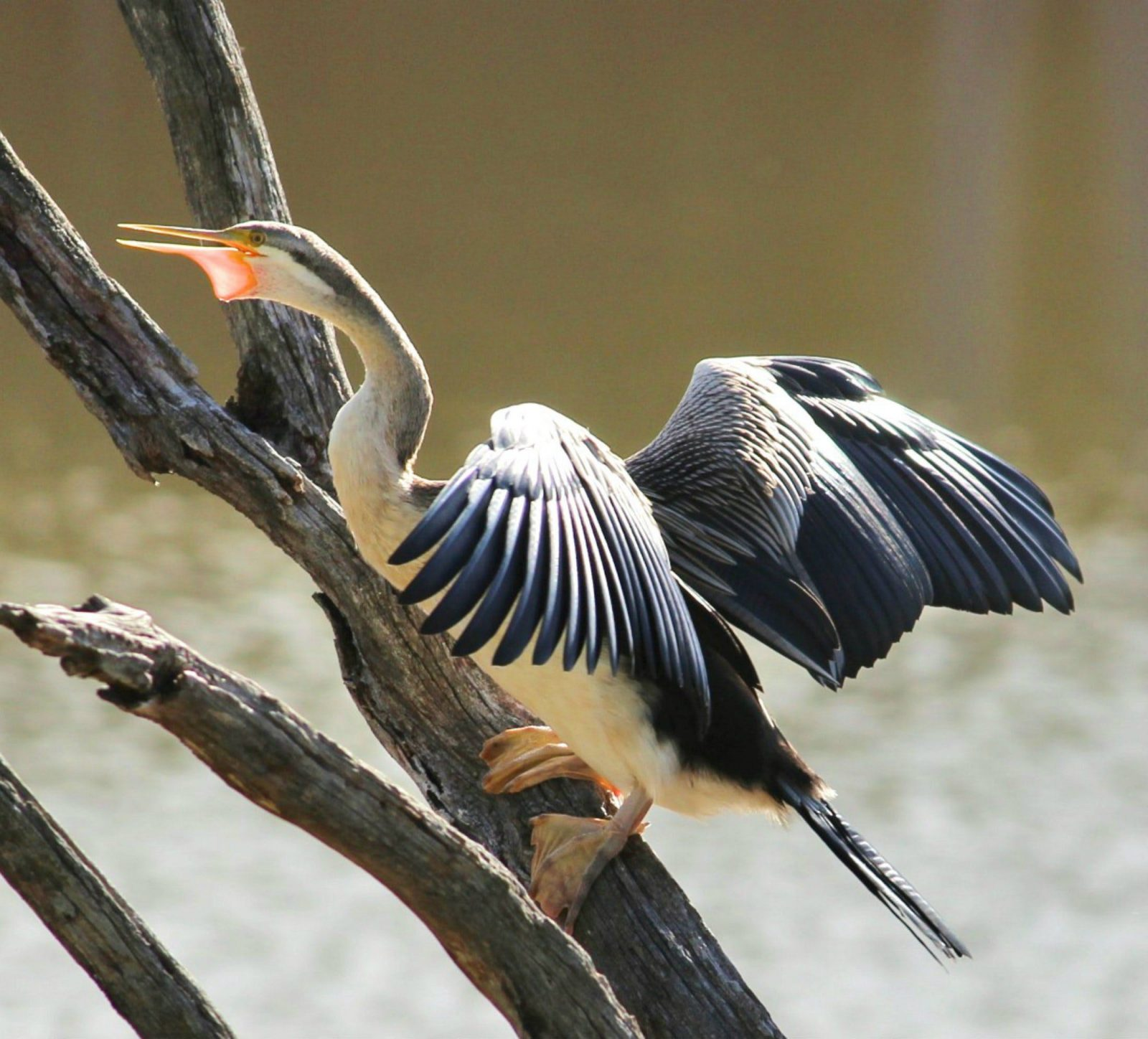 Bharatta long neck cormorant