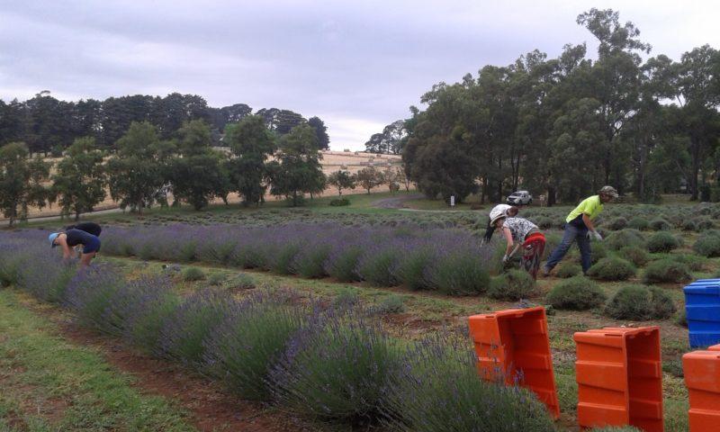 Warratina Lavender Farm Harvest Season