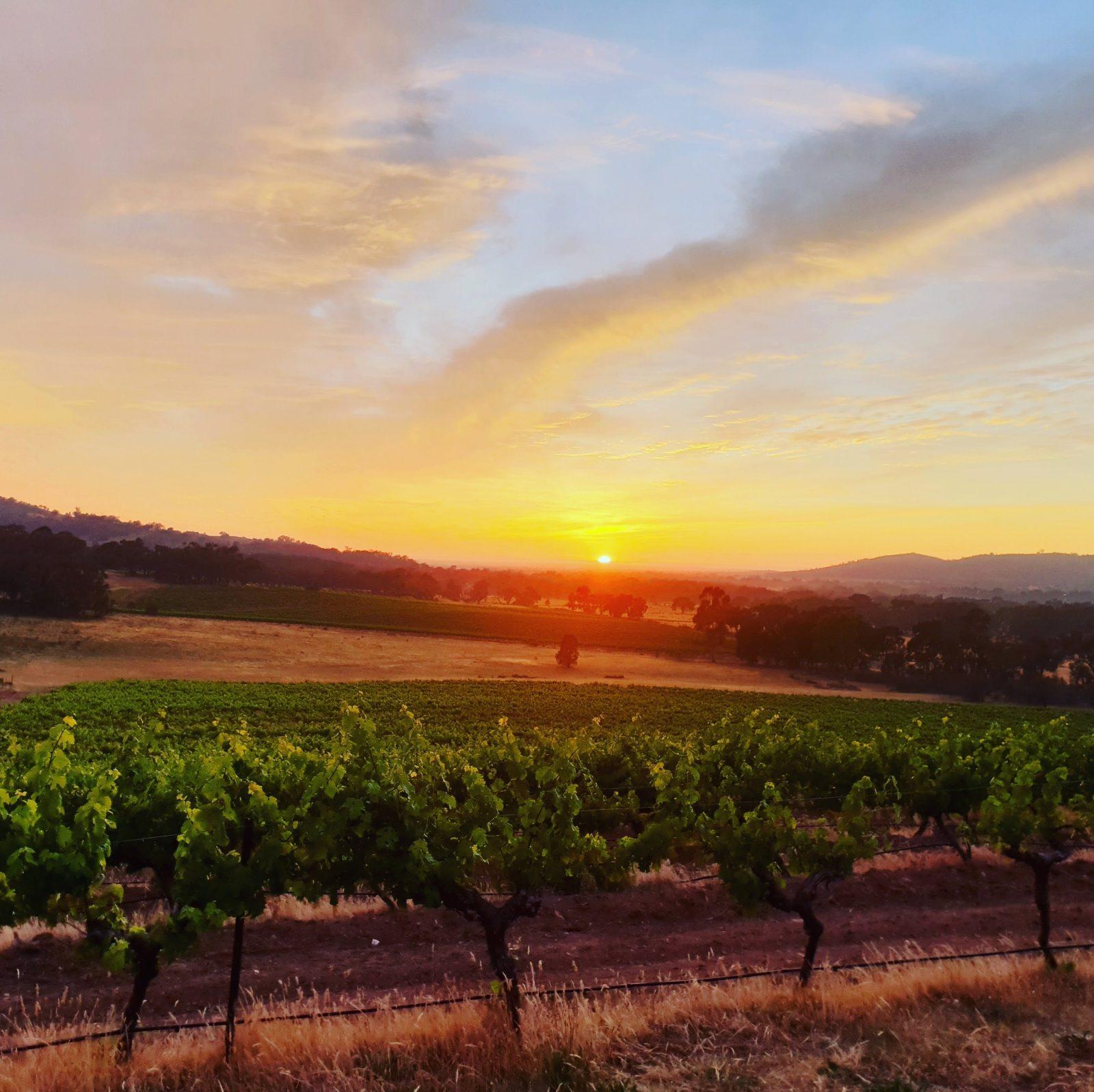 Sunrise over the vines
