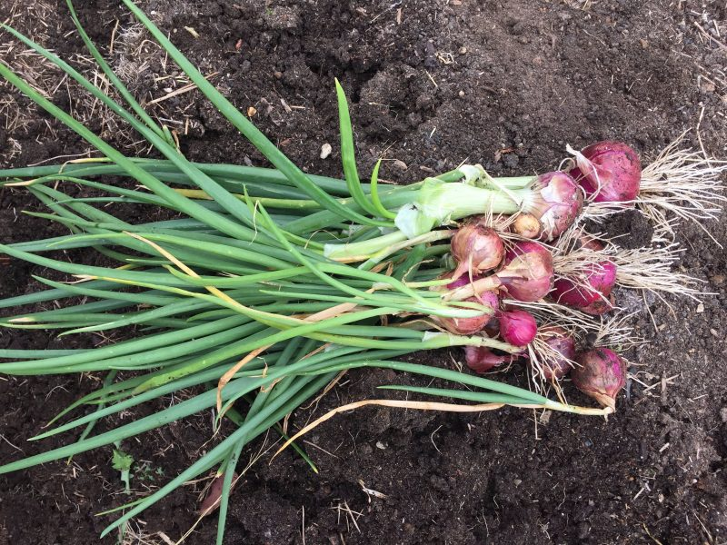 Red onions - just harvested