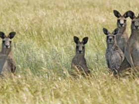 Woodlands Historic Park- Kangaroos