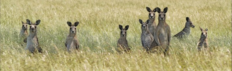Woodlands Historic Park- Kangaroos
