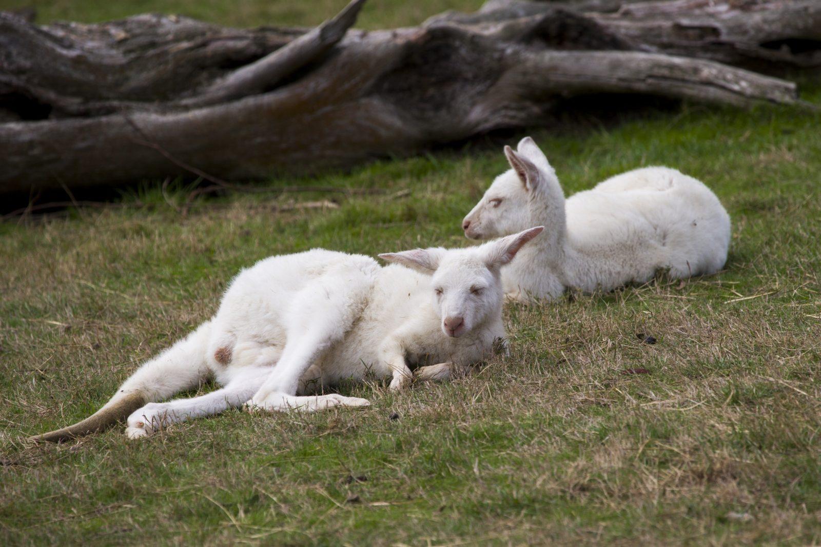 Yarra Valley Nocturnal Zoo White Kangaroos