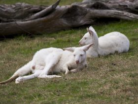 Yarra Valley Nocturnal Zoo White Kangaroos