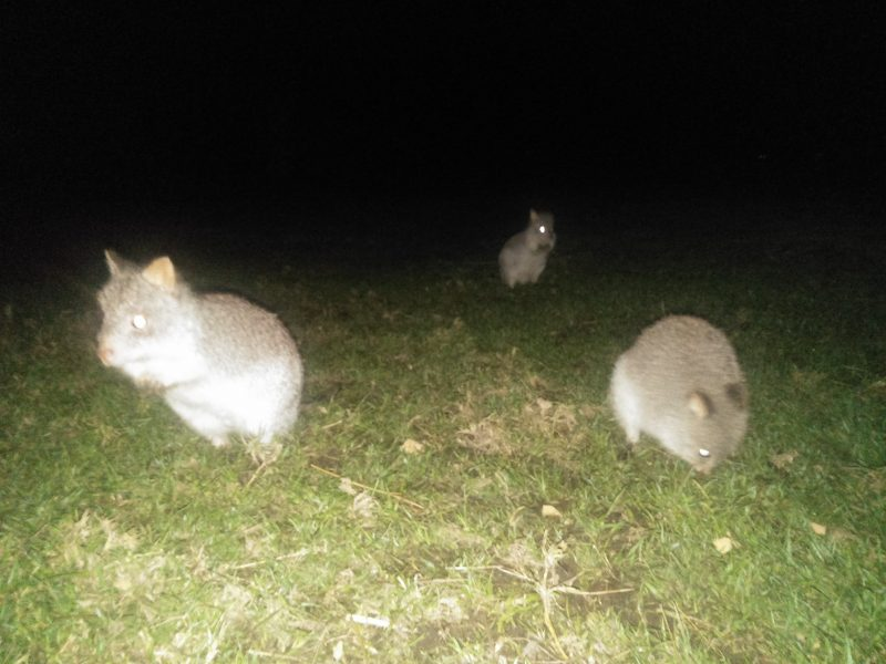 Yarra Valley Nocturnal Zoo Rufous Bettongs