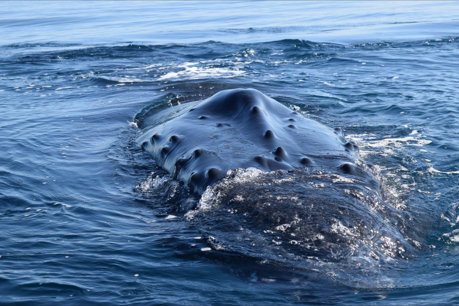 All Sea Charters, Whale Watching WA. Australia South West. Whales Australia. Busselton. Dunsborough
