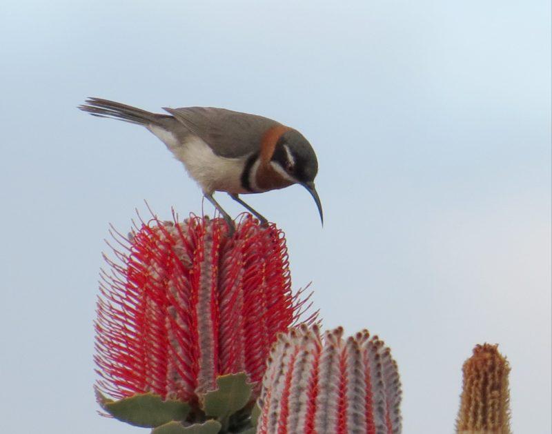 Birding South West, Manjimup, Western Australia