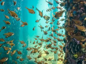 Small fish swimming around piles in the blue water located under the Busselton Jetty.