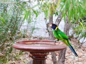 Bird in bird bath, Caves Road Chalets
