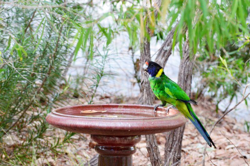 Bird in bird bath, Caves Road Chalets
