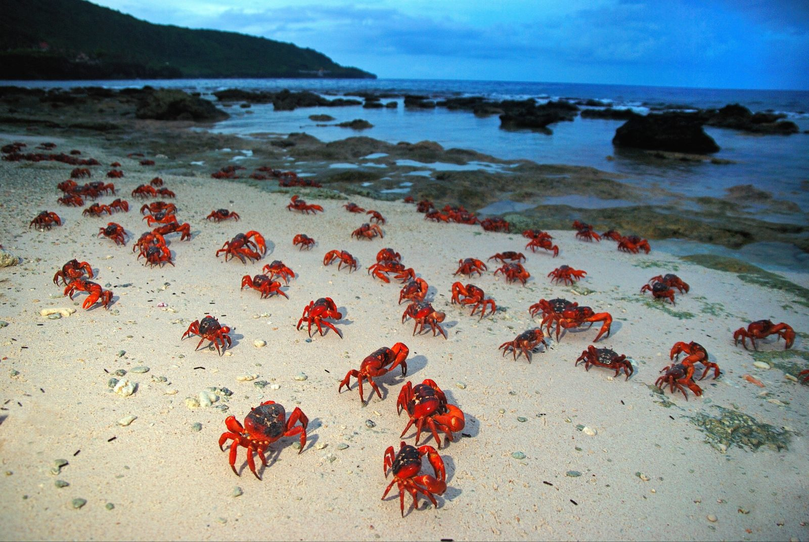 Red Crabs on Ethel Beach