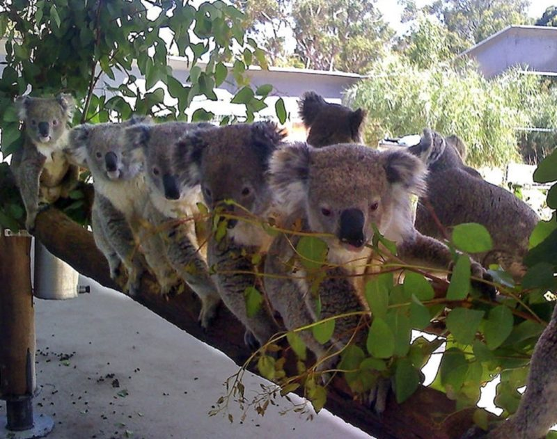 Cohunu Koala Park, Byford, Western Australia