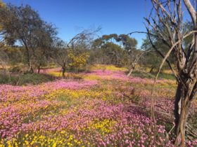 Dalwallinu Remnant Bushland, Dalwallinu, Western Australia