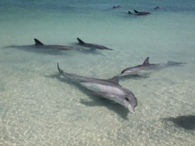 Dolphins of Monkey Mia, Denham, Western Australia