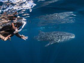 Whaleshark & swimmer