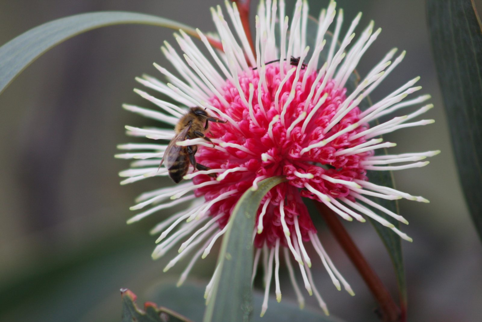 Great Southern Bloom Festival, Tambelup, Western Australia