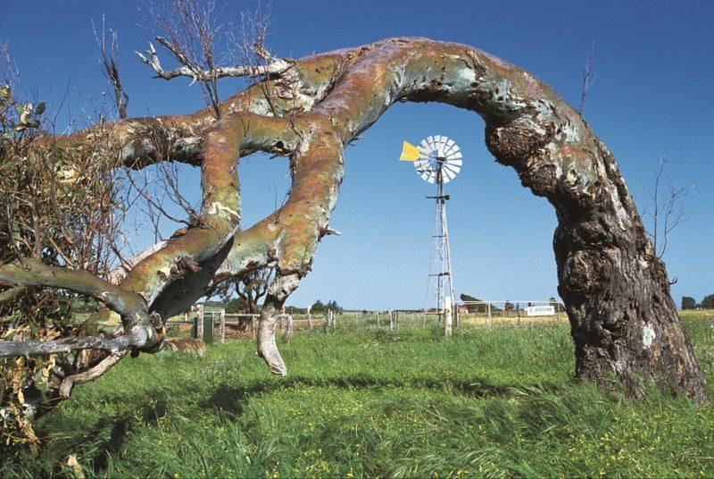Greenough Leaning Trees, Western Australia
