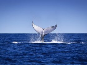 Humpback Whales, Exmouth, Western Australia