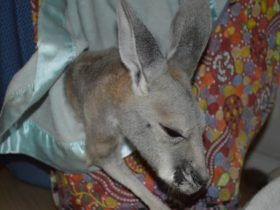 Kangaroo Haven Wildlife Rescue, Kununurra, Western Australia