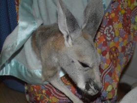 Kangaroo Haven Wildlife Rescue, Kununurra, Western Australia