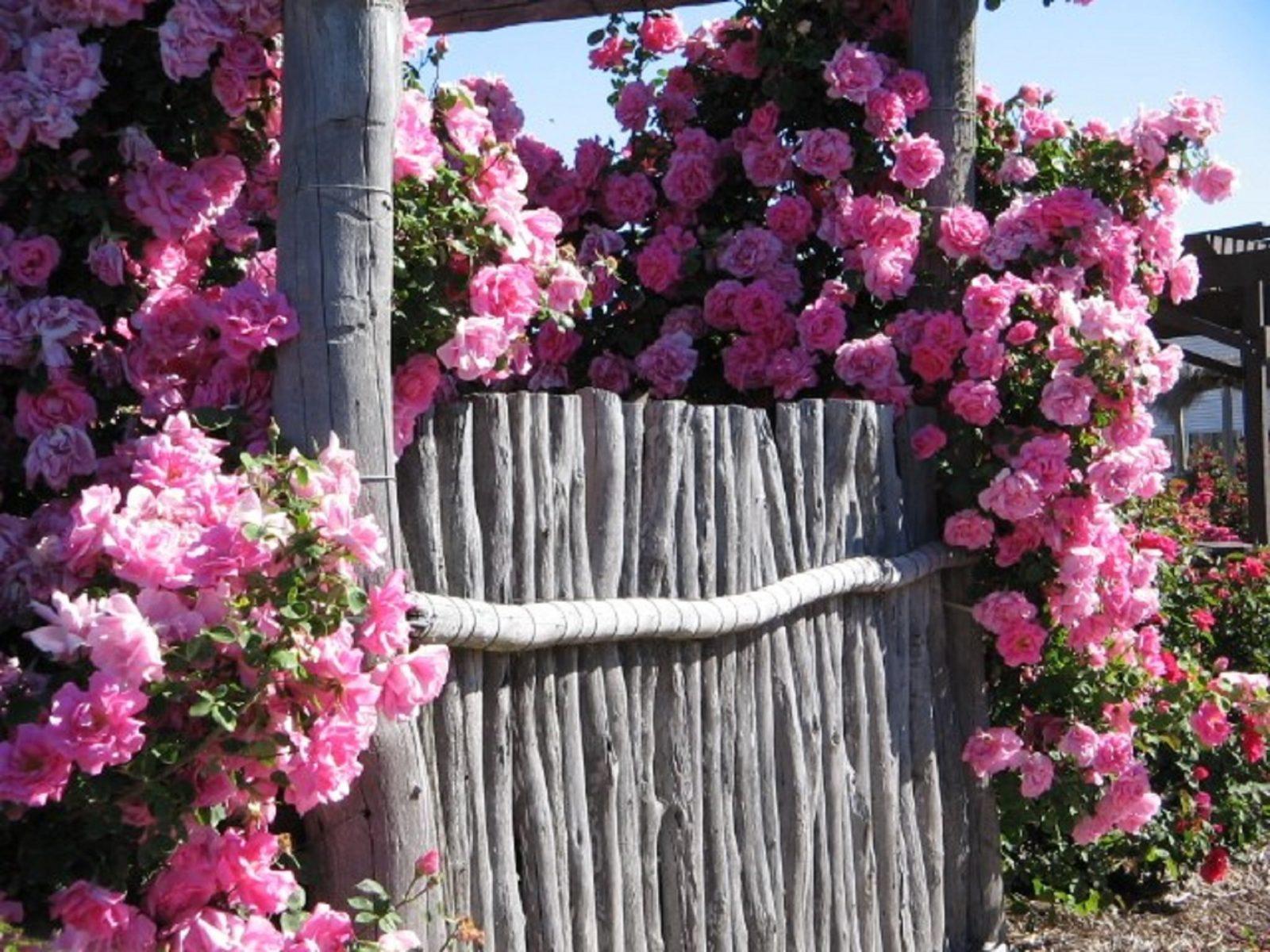 Kojonup Rose Maze, Kojonup, Western Australia