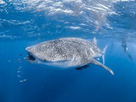 Ningaloo Reef Dive & Snorkel, Coral Bay, Western Australia