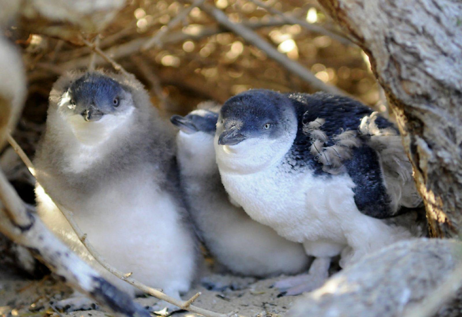 Penguin Island, Rockingham, Western Australia