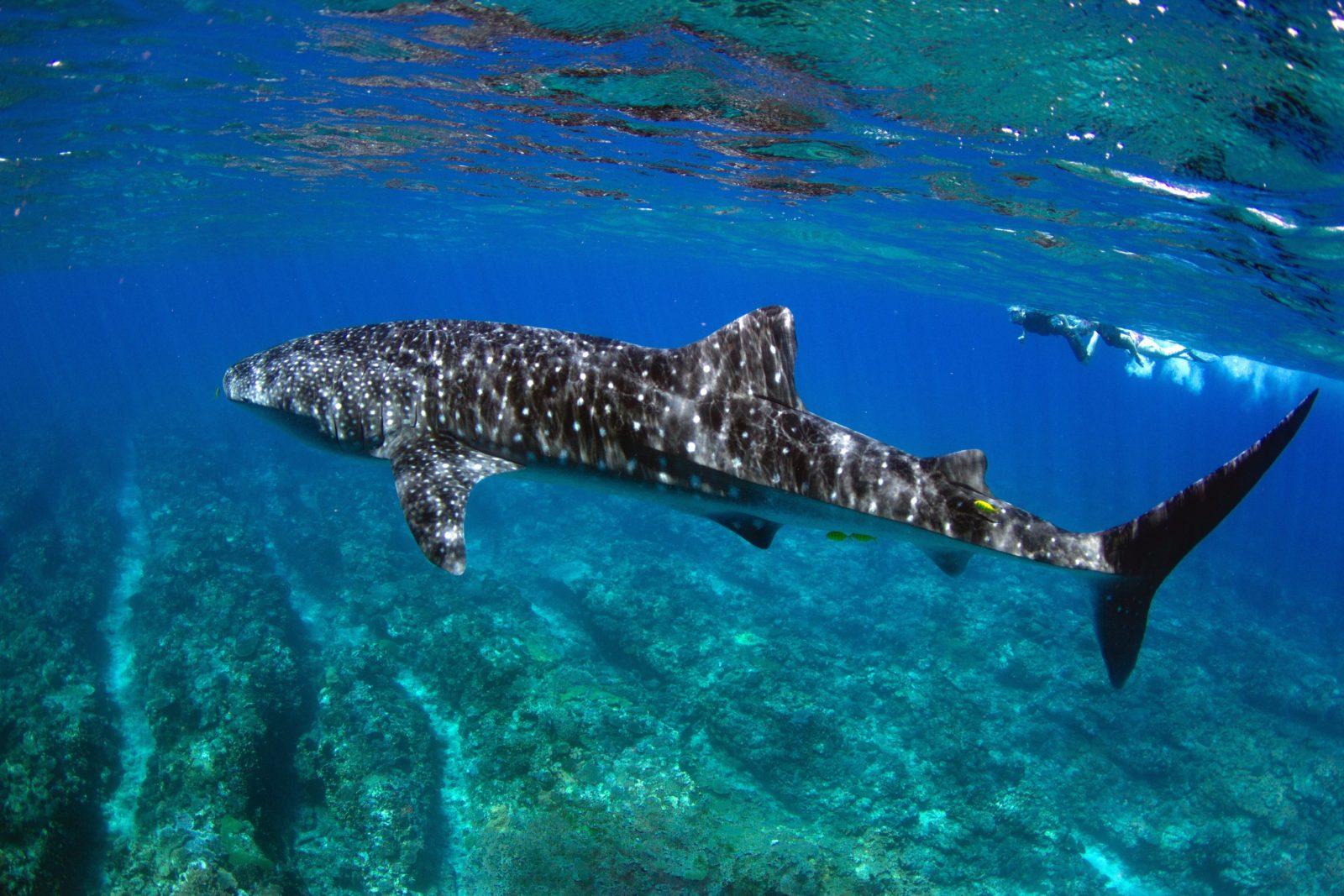 Swim with Whale Sharks, Exmouth, Western Australia