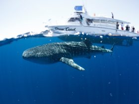 Three Islands Whale Shark Dive, Exmouth, Western Australia