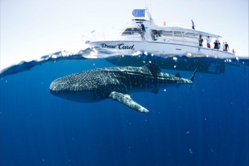 Three Islands Whale Shark Dive, Exmouth, Western Australia