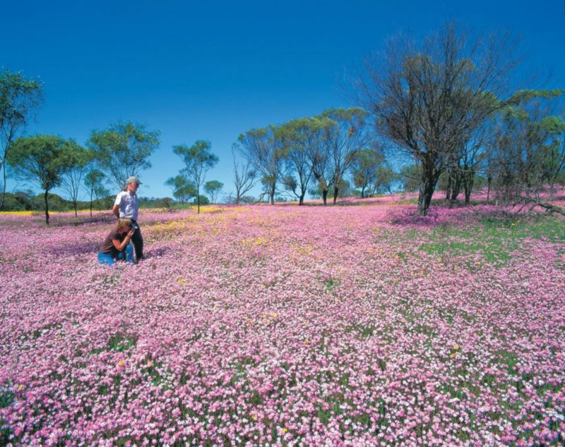Wildflowers of the Mid West, Mullewa, Western Australia